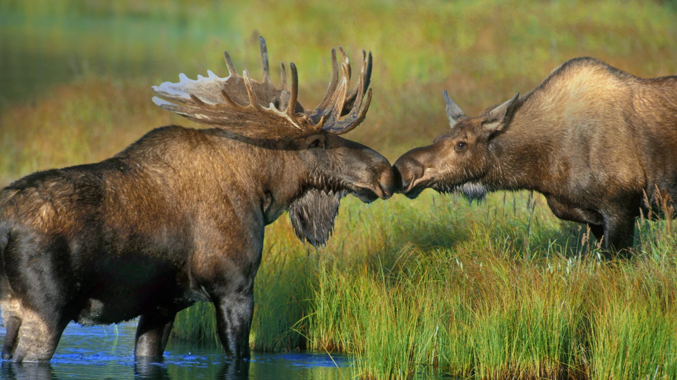 Alaskan Moose Pair wallpaper