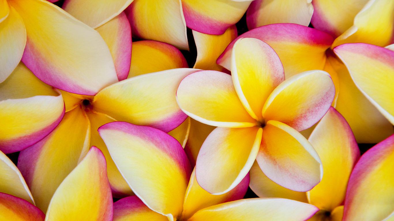 Plumeria flowers in hawaii wallpaper by t1000 revelwallpapers plumeria flowers in hawaii izmirmasajfo