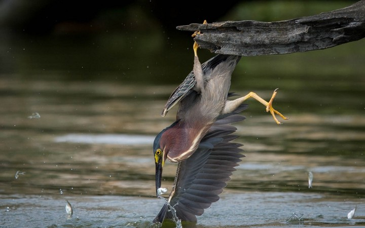 American Green Night Heron