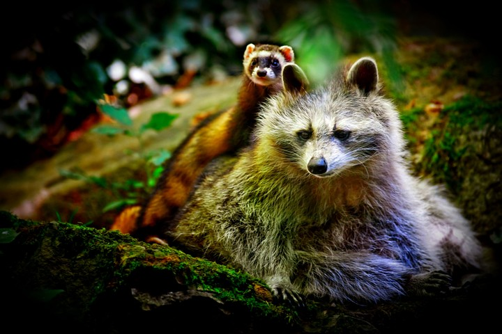 Animal Wallpapers Desktop Images Free Wallpapers Cute: Animal Cute Ferret Raccoon, Funny Background Desktop, Wall