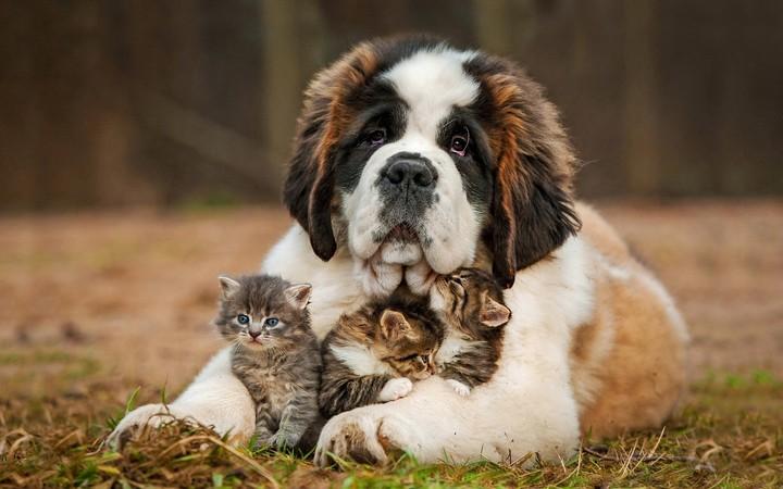 Saint Bernard Puppy Hugs Newborn Three Little Kittens Wallpaper By Parislane Revelwallpapers Net