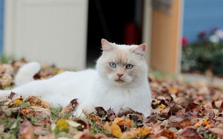 White Cat lying in the Autumn Leaves background