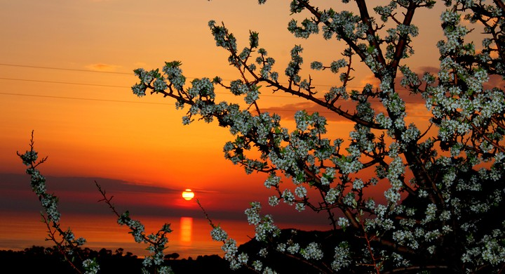 Beautiful Cherry Flowers In Spring Sunset