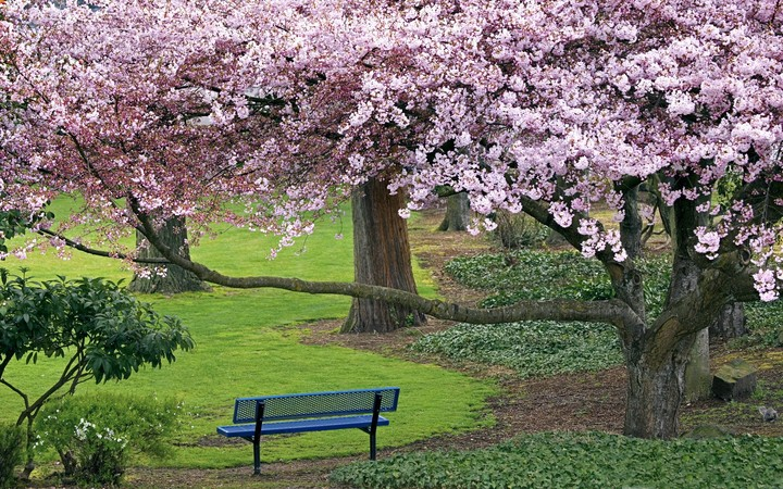 Blossoming cherry trees in an garden