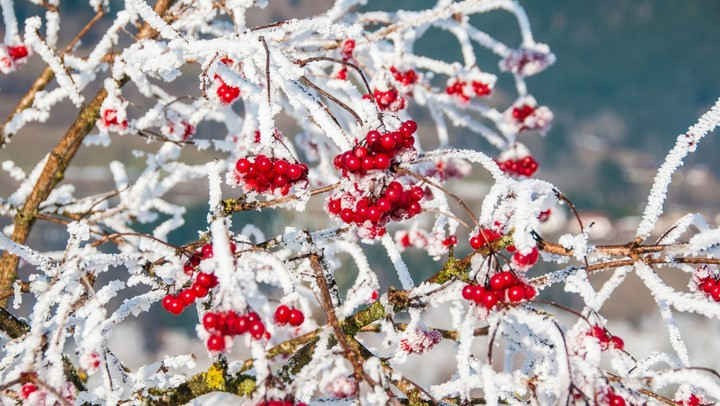 Close up of bunches of rowan berries with ice crystals