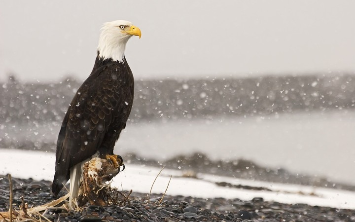 Eagle Bird in Snowflakes, Alaska