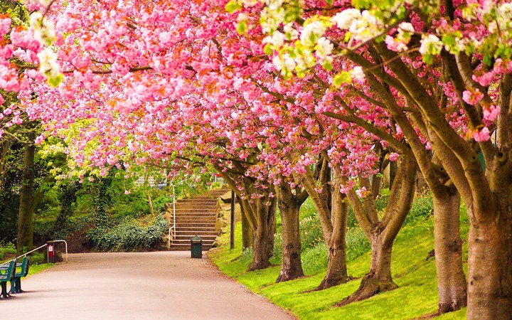 Blossoming Cherry Trees In An Ornamental Garden Pastel Colors With Dreamy Feel