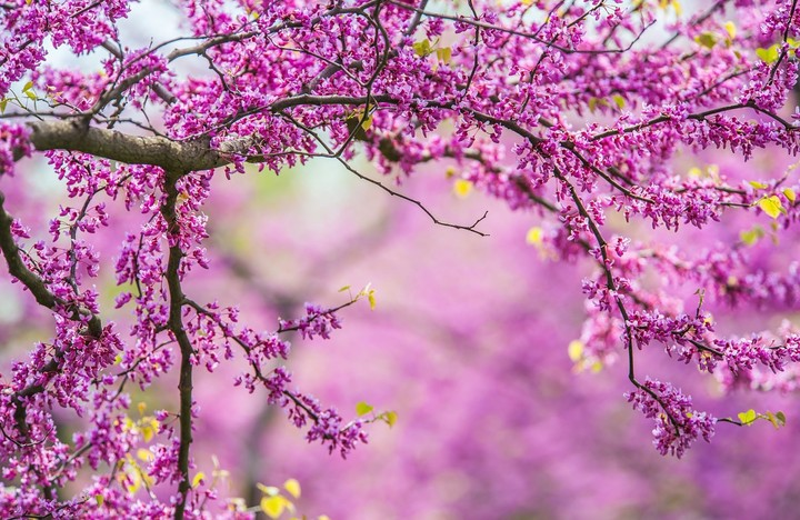 Beautiful tender cherry tree blossom in morning purple sun light