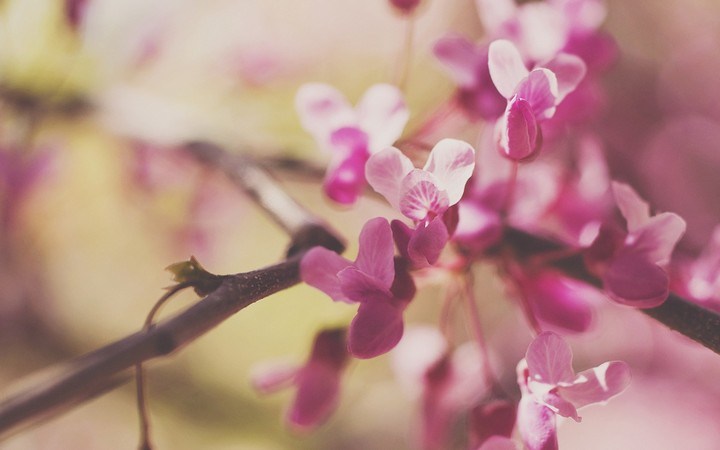branches-flowers-pink