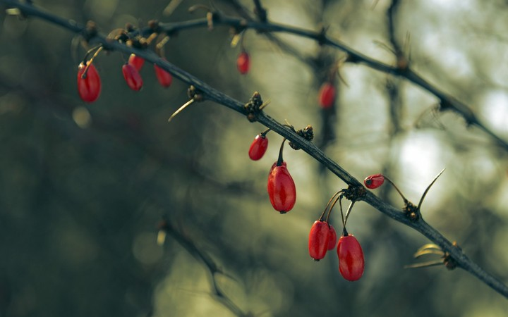 Branches Thorns Fruits Red Dogwood Tree Landscape