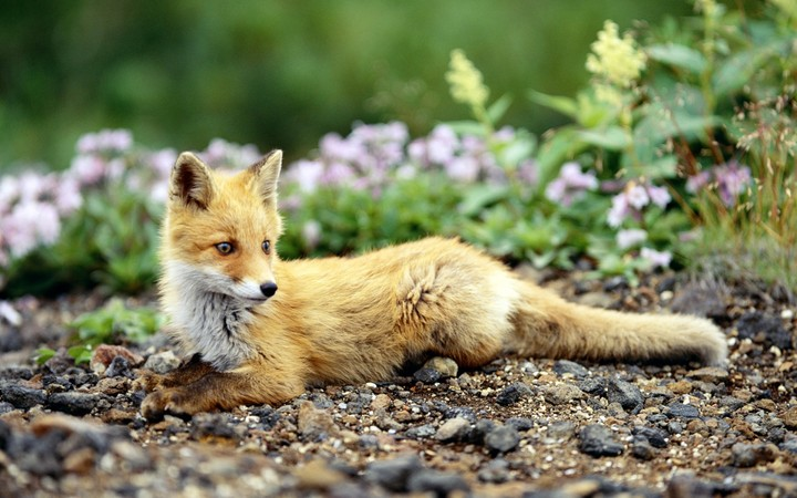 Brown Fox and Flowers
