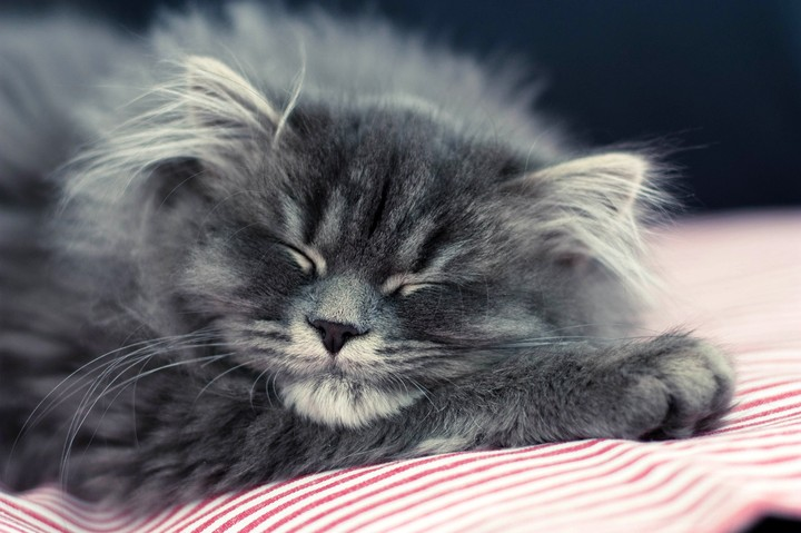 Gray Fluffy Cat Sleeping In Bed