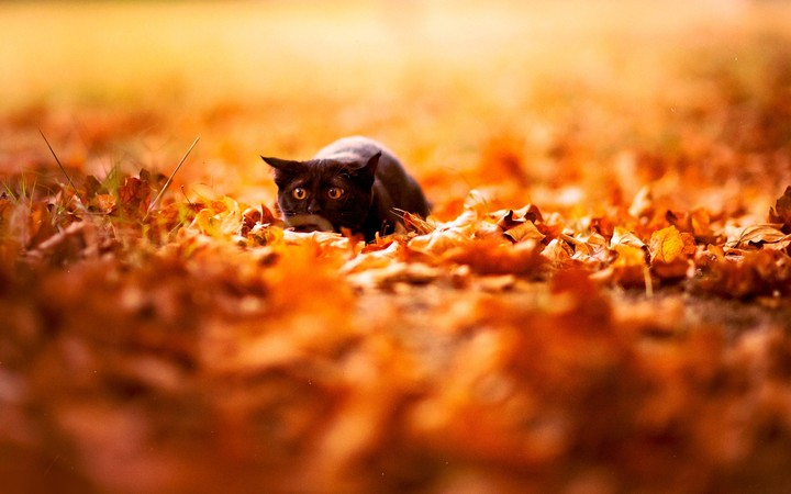Black cat lies in autumn leaves in park