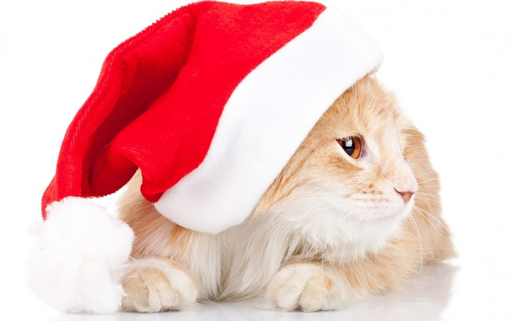Cat With Christmas Hat Hd
