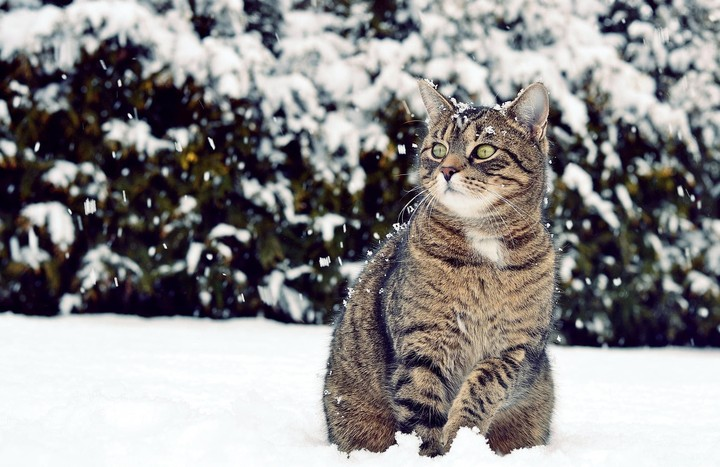 winter background with Cat outdoor in the snowstorm