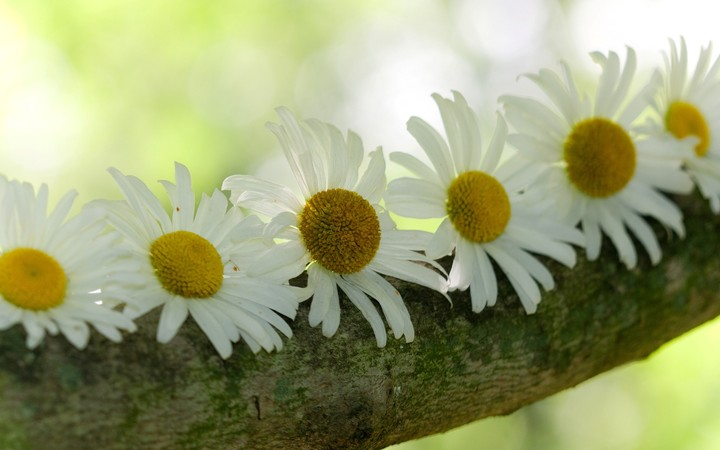 Chamomile Flower Wide