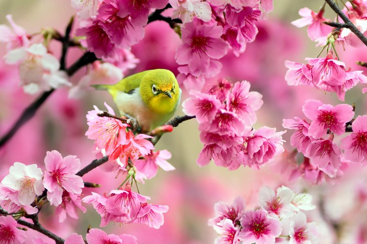 Cherry Flowers And Bird In Spring