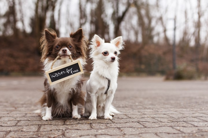 Chihuahua wallpaper by amandavangeer revelwallpapers chihuahua voltagebd Images