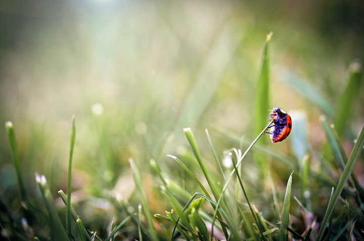 close-up, grass, beetle, ladybug
