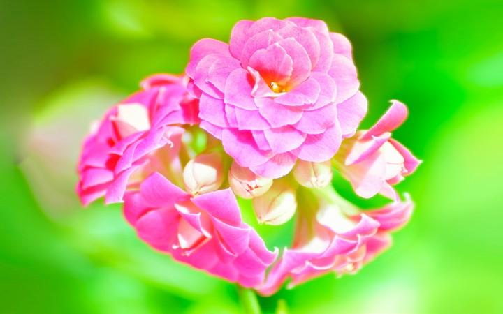 cute pink flower wallpaper by doantrangnguyen