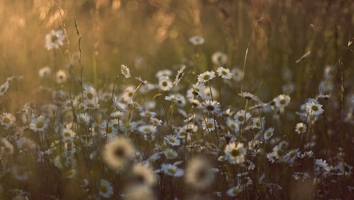 Beautifel Lanscape In Summer With Daisy Field At Sunset