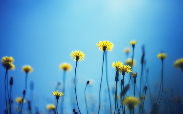 dandelions_flowers_blur_background