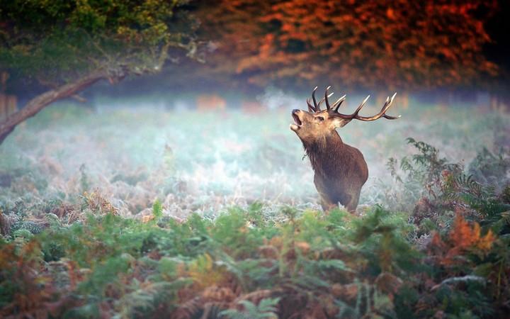 Barking Red Deer Stag In Autumn Forest Landscape Wallpaper By Marijane Revelwallpapers Net