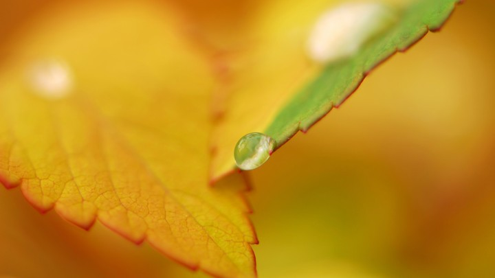 Dew drop On Autumn Leaves