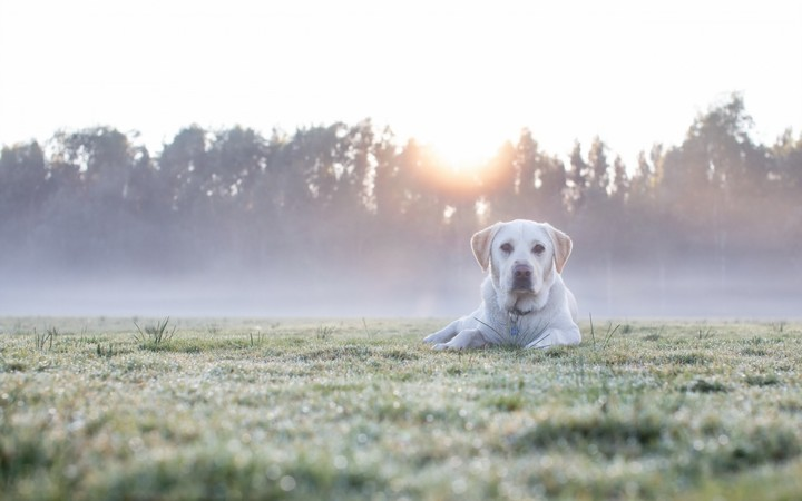 Labrador retriever in the foggy morning in forest