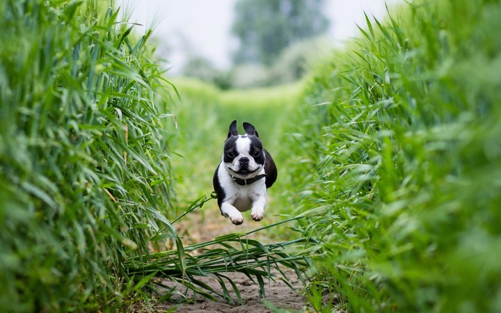 French bulldog jumping over grass