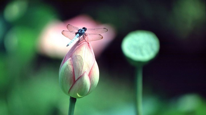 Dragonfly On Lilies Lotus Flower Bud Wallpaper By Lalasunbeck