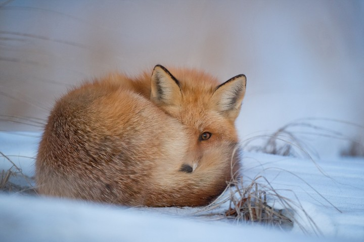 Fox, winter