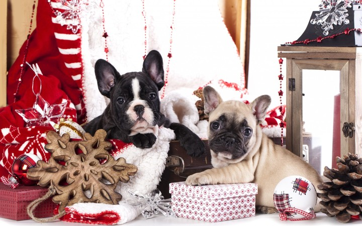 French Bulldog In Christmas Hd