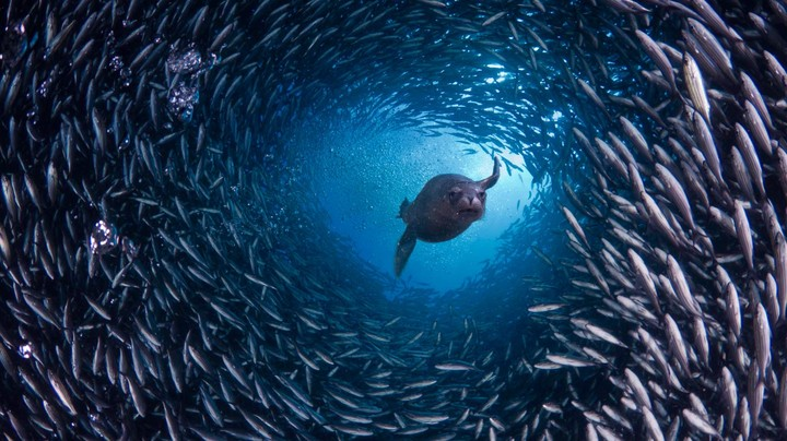 Galápagos sea lion swims through a school of black-striped salema fish off Santa Cruz Island, Galápagos Islands, Ecuador
