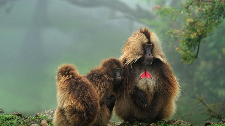 Geladas in Simien Mountains National Park, Ethiopia