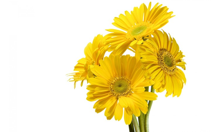 Yellow Gerbera Flower on White Background