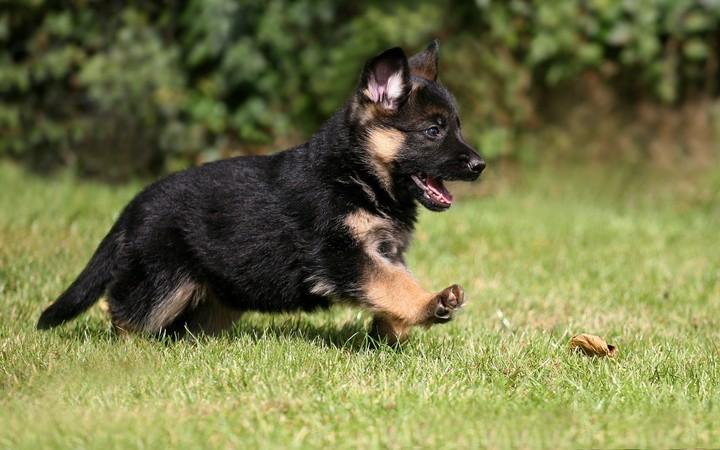 German Shepherds Baby Dog wallpaper by dahiana | RevelWallpapers.net
