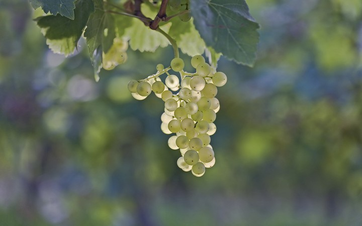 Grapes Hd