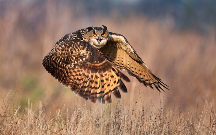 Owl Flying Over A Dry Field