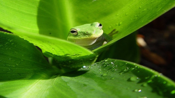 Frog Hiding In Green leaves With Water Drops