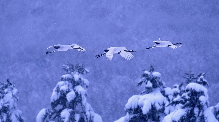Red-crowned cranes in Akan National Park, Hokkaido, Japan