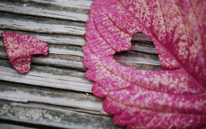 Autumn leaves and a heart cut from a leaf on a background of grained wood