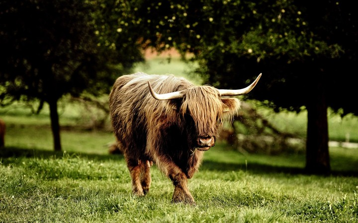 Highland Cattle Forest Background