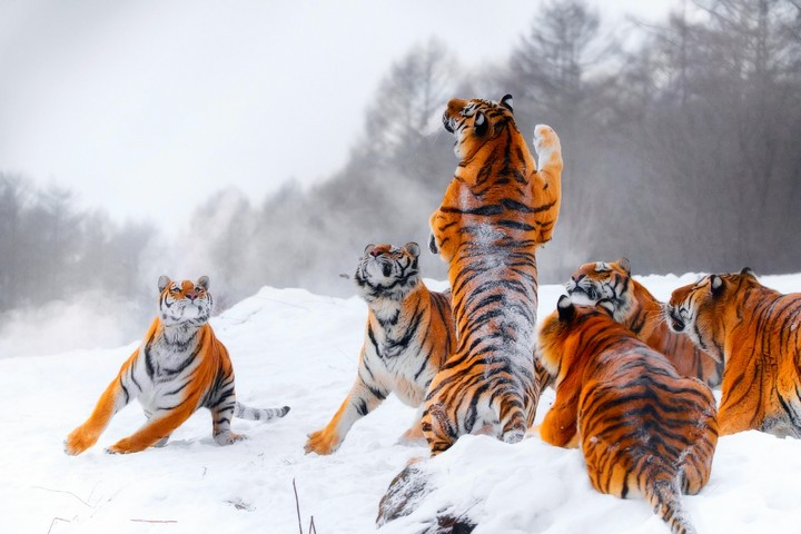 Hunting, Tigers, Winter