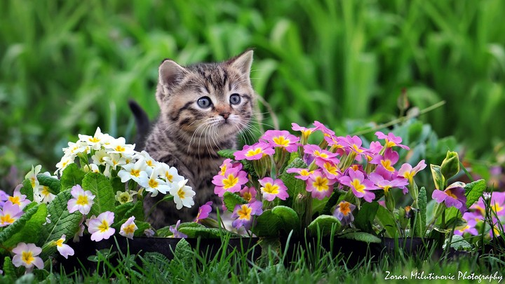Ginder kitten standing behind Primrose flowers looking very curious in garden