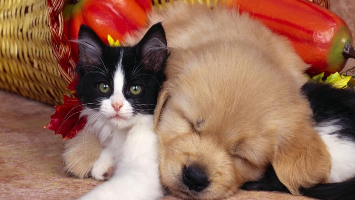 golden retriever puppy dog sleep with british kitten isolated