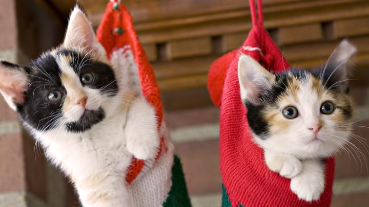 two small Scottish kittens sitting inside socks hanging from washing line