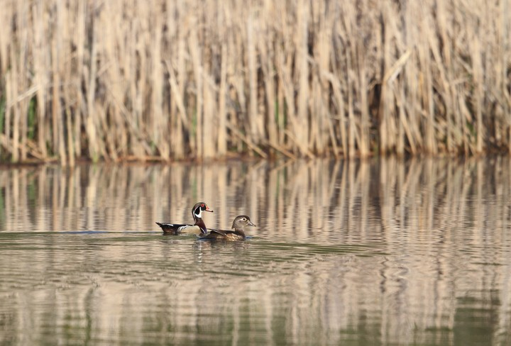 Two Ducks On Lake With Reeds
