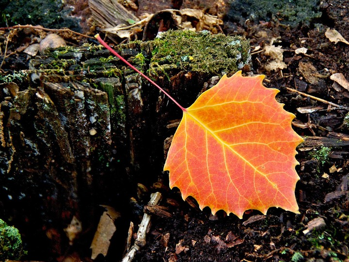 Leaf Autumn background for desktop