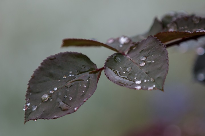 Leaves And Water Drops